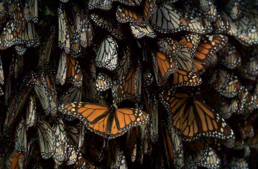 Who's Counting: Estimating Monarch Colony Size